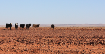 Diamantina cattle grazing country. Photo Credit: Flickr (Tindo2) Creative Commons