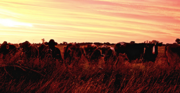 Australian cattle farm at sunset. Photo source: Melody Ayres-Griffiths (Flickr). Creative Commons.