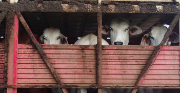 Indonesia has cut its Australian cattle imports by 80%. Photo Credit: Flickr (writtenq) Creative Commons.