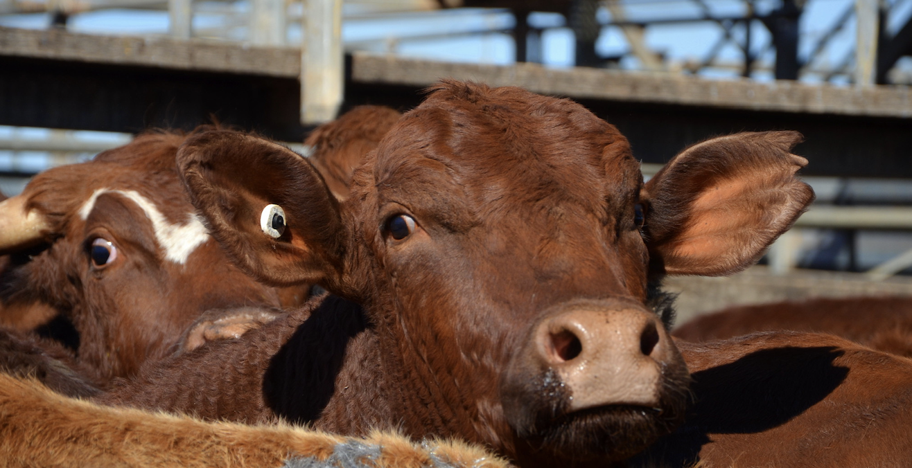 Trade in cattle between Australia and Indonesia is just one area that will see changes under the IA-CEPA free trade agreement. Photo: Chris Fithall, https://bit.ly/2G2479Z