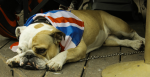 British Bulldog. Flickr - Catrin Austin https://creativecommons.org/licenses/by/2.0/
