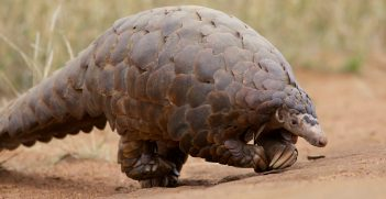 Ground Pangolin at Madikwe Game Reserve in South Africa. Also known as the Scaly Anteater, it actually walks on its hind feet. It uses its front feet for balance. It is a very rare sight to see since it is primarily nocturnal and has been hunted to near extinction. Source: David Brossard https://bit.ly/34dSDvz