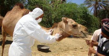 A camel receives an injection.  Source: Awadh Mohammed Ba Saleh https://bit.ly/3gRgveq