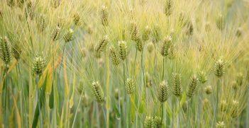 Barley (Hordeum vulgare). Source: Cliff https://bit.ly/3eIEFWs