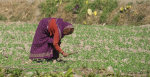 Tending the Crop in Uttarakhand, India. Source: Gavin Edmondstone https://bit.ly/3oToLhj