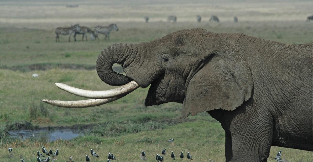 Elephant (Loxodonta africana) in the Ngorongoro crater, Tanzania. Source: Schuyler Shepherd https://bit.ly/2WqFAau